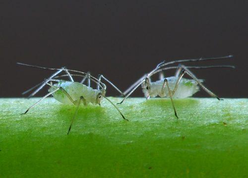 herkennen bladluizen