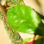 herkennen bladluizen op roos