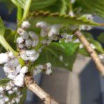 Aantasting door wollige dopluis op hortensia
