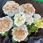 herkennen oorzaak verschroeien bloemschermen hortensia